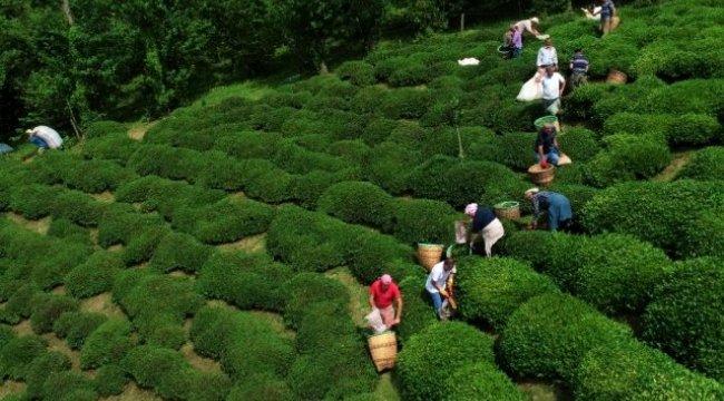 Fındığın başkenti Ordu'da çay hasadı başladı