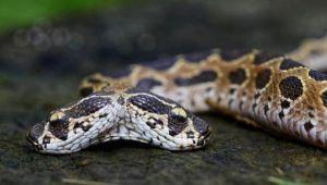 Hindistan'da ortaya çıkan çift başlı yılan görenleri şoke etti