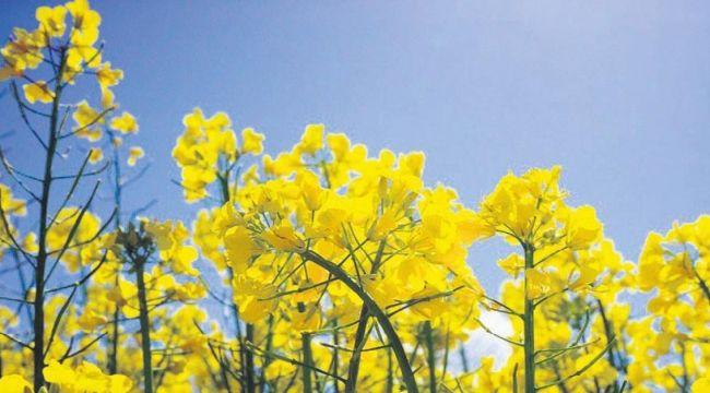 Trakya'nın 'sarı altın çiçeği' kanola için tohumlar saçıldı