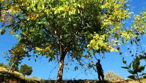 Erzincan'ın Sancak kenti Kemah: 32 bin ceviz ağacı yetiştiriciliği ile ekonomiye katkı sağlıyor